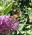 Broad-bordered Bee Hawk-moth (36025058403).jpg