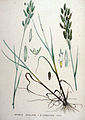 Bromus secalinus — Flora Batava — Volume v19.jpg