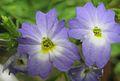 Browallia americana closeup.jpg