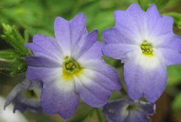 Browallia americana closeup