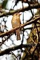 Brown-breasted Flycatcher (Muscicapa muttui) മുത്തുപിള്ള. (33031919265).jpg
