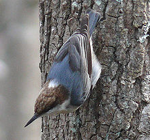 Brown-headed Nuthatch-27527-4c.jpg