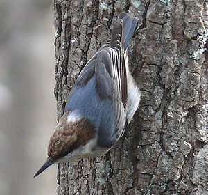 A Brown-headed Nuthatch (Sitta pusilla). Photo...