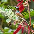 Brown-throated Sunbird (14080140885).jpg