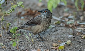 Brown Babbler ...Gambia (32300323344).jpg