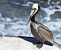 Brown Pelican (38977932960).jpg