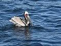 Brown Pelican (38977933730).jpg