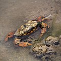 Brown crab with barnacles.jpg