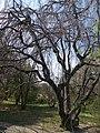 Buda Arboreta. Upper garden. Common beech (Fagus sylvatica). - Budapest.JPG