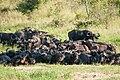 Buffalo herd (7281512670).jpg