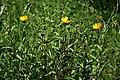 Buphthalmum salicifolium 2.jpg