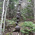 Burls on a tree trunk (44627776351).jpg