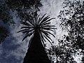 Buskett palma - panoramio.jpg