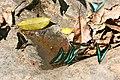 Butterflies, Kaeng Krachen Nat. Park (8355623880) (2).jpg