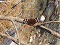 Butterfly, Mojstrana.jpg