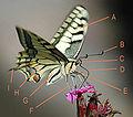 Butterfly-description.jpg