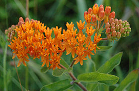 Butterfly Weed Entire Flower Head 2608px.jpg