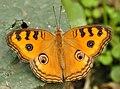 Butterfly in Buckfast Butterfly Farm 6.jpg