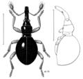 COLE Apionidae Zelapterus terricola.png