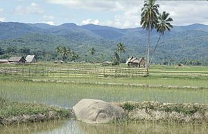 """Lore Lindu National Park - Megalithic stone in a rice field, Central Sulawesi (""""Baula"""", Bada Valley)"""