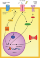 CREB cAMP neuron pathway png.png