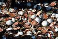 CSIRO ScienceImage 2947 Shells.jpg