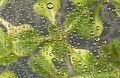CSIRO ScienceImage 3250 Arabidopsis in petri dishat the CSIRO Discovery Centre labs Black Mountain ACT.jpg