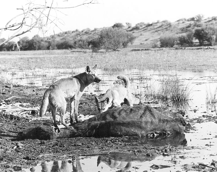 File:CSIRO ScienceImage 4312 Dingoes feeding on a cattle carcass.jpg