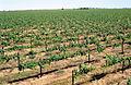 CSIRO ScienceImage 4678 McWilliams Wines vineyard at Hanwood near Griffith NSW.jpg
