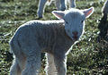 CSIRO ScienceImage 520 A Lamb.jpg
