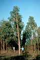 CSIRO ScienceImage 616 Nepalese Variation of Eucalyptus Camaldulensis.jpg