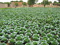 Cabbage field after improvement of soil by urine (4462678608).jpg