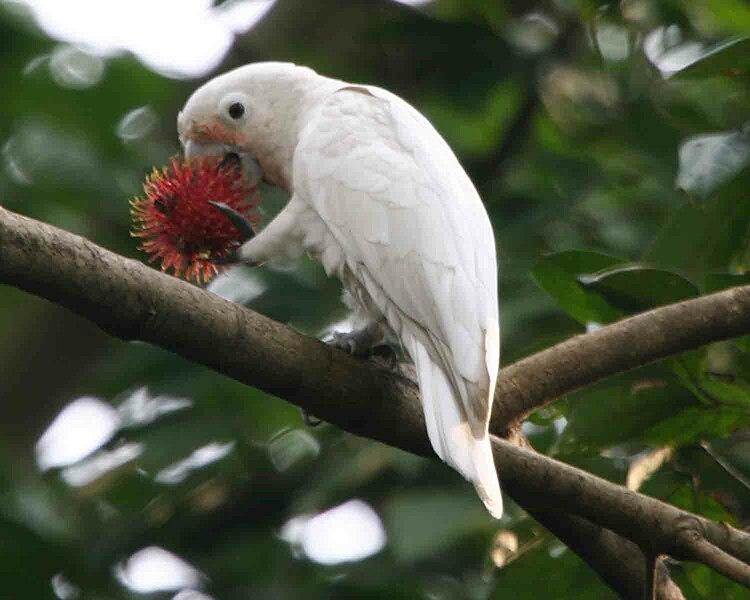 File:Cacatua goffiniana -eating rambutan-6.jpg