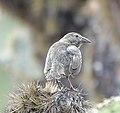 Cactus Finch (47761529782).jpg