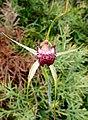 Caladenia applanata applanata 02 - cropped.jpg