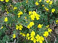 Calicotome infesta subsp. intermedia.jpg