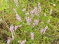 Calluna vulgaris1.jpg