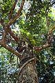 Calophyllum tomentosum.jpg