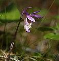 Calypso bulbosa orchid 03.jpg