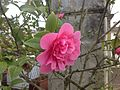Camellia japonica Anticipation.jpg