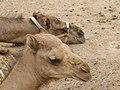 Camelus dromedarius - dromedary head - Dromedarkopf - dromadaire hure - Oasis Park - Fuerteventura - 06.jpg