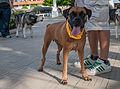 Caminata por los perros y animales Maracaibo 2012 (19).jpg