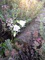 Campanula cochleariifolia white 1.jpg