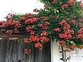 Campsis grandiflora in Turkey.jpg