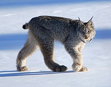Canadian lynx by Keith Williams.jpg