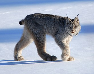 Canada lynx - As the forelimbs of are shorter than the hindlimbs, the back appears to be sloping downward toward the front. Also note the stubby tail and the dense fur.