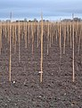Canes, near Thearne - geograph.org.uk - 629912.jpg