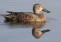Cape Shoveler, Anas smithii at Marievale Nature Reserve, Gauteng, South Africa (9700126909).jpg