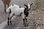 Capra aegagrus (Chèvre sauvage) - 54.jpg