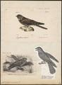 Caprimulgus europaeus - 1700-1880 - Print - Iconographia Zoologica - Special Collections University of Amsterdam - UBA01 IZ16700033.tif